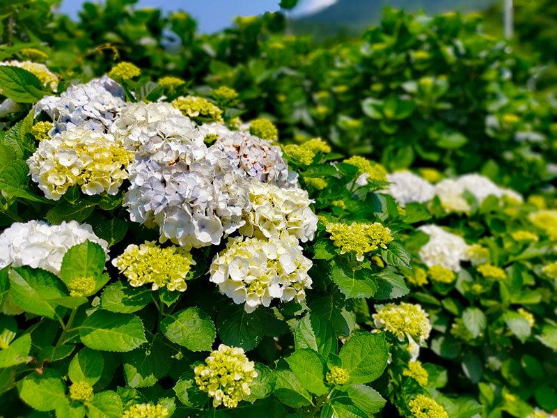 2020陽明山繡球花季
