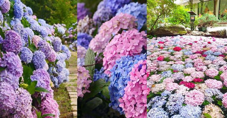 武陵農場繡球花