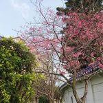 中正紀念堂櫻花林
