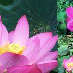 台北植物園荷花